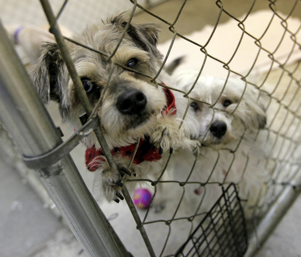 Photo - Male dogs Shea (A107014), left, and Alvin (A106431) wait to be adopted at the Oklahoma City Animal Shelter, 2811 SE 29th St., in Oklahoma City, Wednesday, March 14, 2012. Photo by Nate Billings, The Oklahoman