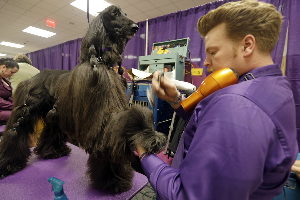 Phil Schafmayer, prepares Rider, an Afghan Hound, before competing in the The Westminster Kennel Club dog show Monday, Feb. 11, 2013, at Madison Square Garden in New York.(AP Photo/Frank Franklin II) ORG XMIT: MSG102