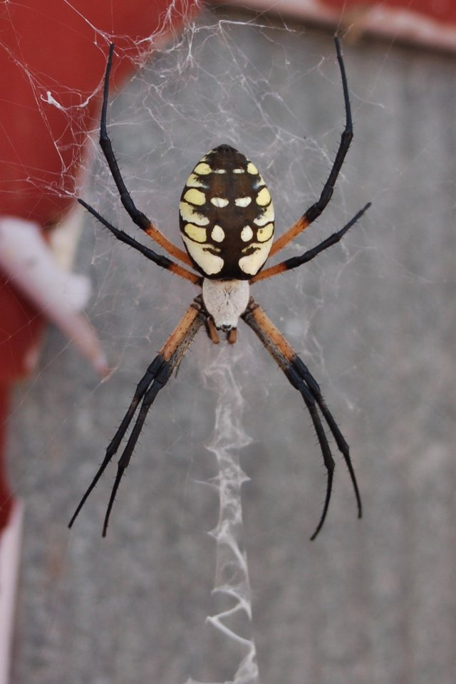 This is a Golden Orb spider found on our barn<br/><b>Community Photo By:</b> Penny Hurley<br/><b>Submitted By:</b> Penny, Guthrie