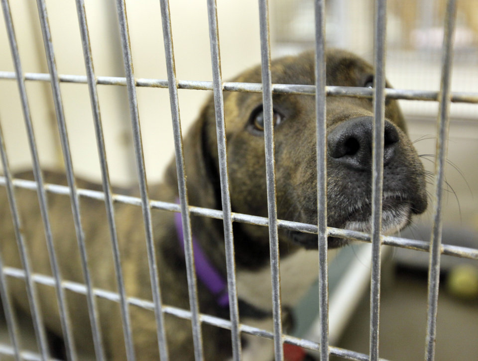 Photo - Belle (A105930), a female pit bull mix, waits to be adopted at the Oklahoma City Animal Shelter this month.  NATE BILLINGS - The Oklahoman