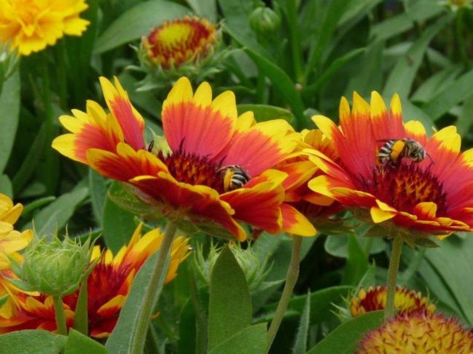 Photo -  Long-lasting blooms on gaillardia in a hot and dry location. [JungSeeds.com]