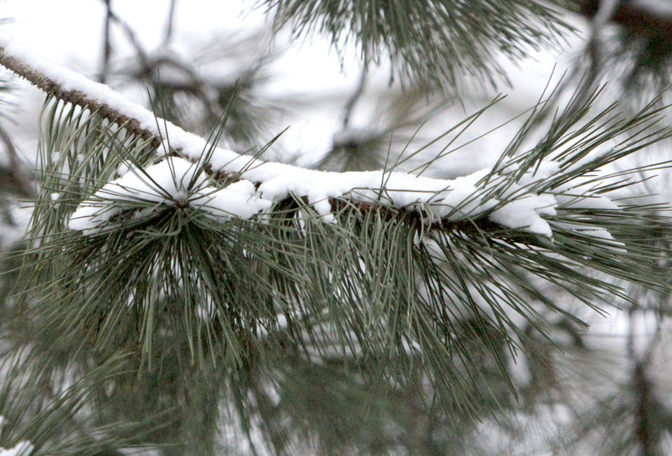 Photo - Snow clings to a pine branch after about an inch of snow fell overnight in Oklahoma City, OK, Monday, Feb. 13, 2012. By Paul Hellstern, The Oklahoman