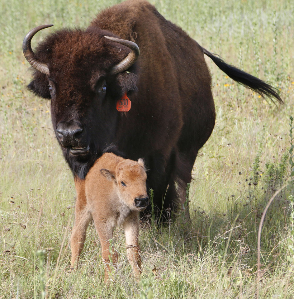 Photo -  A buffalo takes care of her 1-day-old calf at Sandy Springs Farms near Hinton. Photo by Paul Hellstern, The Oklahoman   PAUL HELLSTERN - Oklahoman