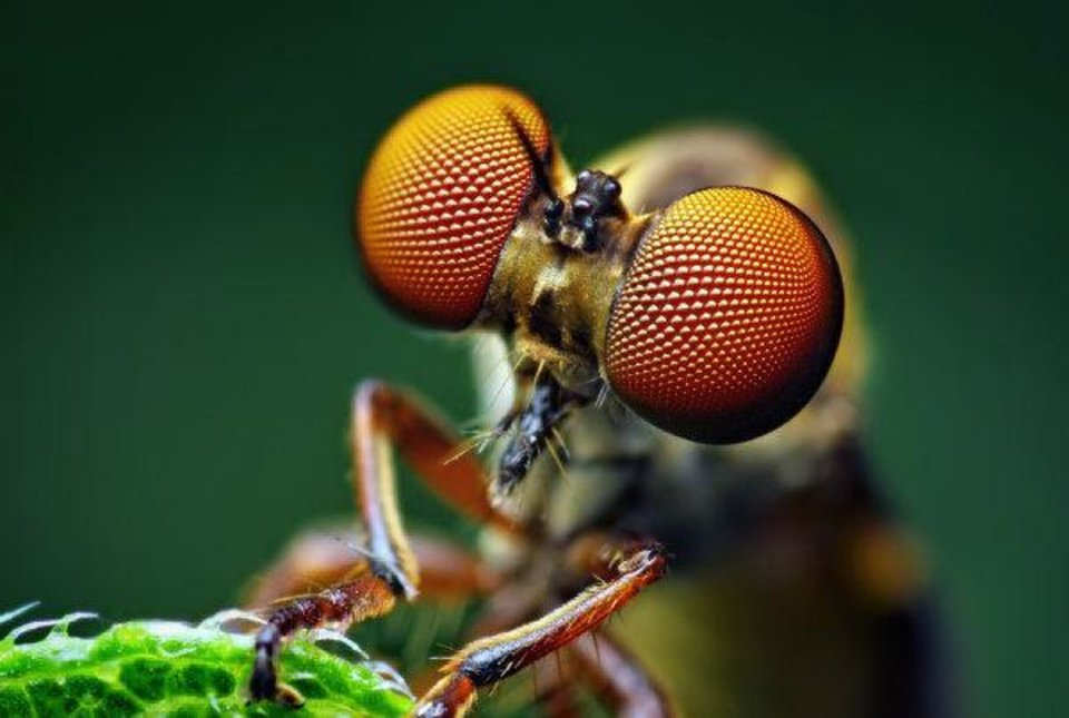 Robber fly (Holcocephala fusca). These flies, Shahan wrote on his Flickr page, are