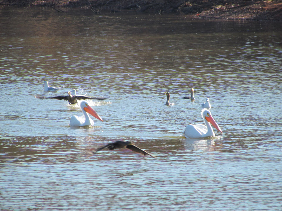 Pelicans, geese and sea gulls on the Guthrie Lake
