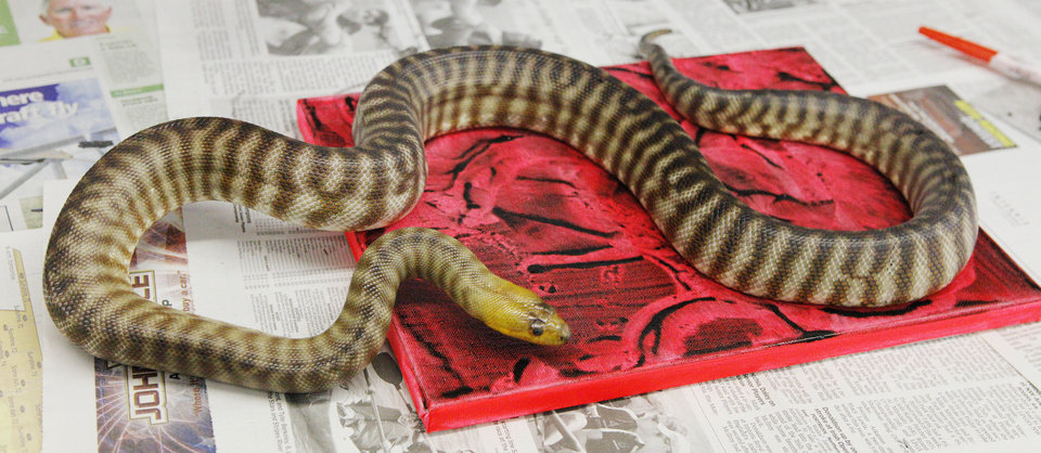Photo - A 5-year-old female woma python creates a painting for the Oklahoma City Zoo's Art Gone Wild  exhibit. The painting will be sold during an art show to raise money for the zoo's conservation programs. Photo by Paul B. Southerland, The Oklahoman  PAUL B. SOUTHERLAND