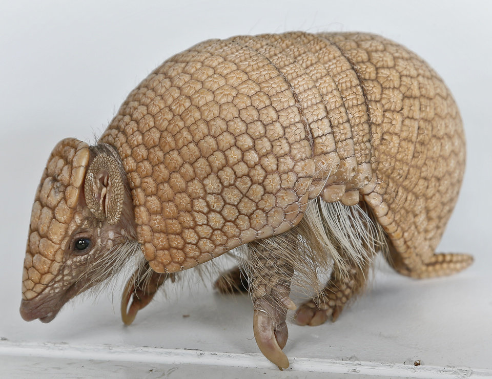 Photo - Three Banded Armadillo, Wilson, in the studio on a visit to the OPUBCO office from SeaWorld on Thursday, Feb. 21, 2013, in Oklahoma City, Okla. Photo by Chris Landsberger, The Oklahoman