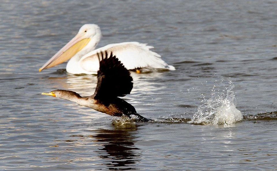 Photo -   A cormorant takes flight with a white pelican in the background at the Oklahoma City Zoo lake during its migration south in Oklahoma City, Thursday December, 8,  2011. Photo by Steve Gooch, The Oklahoman.