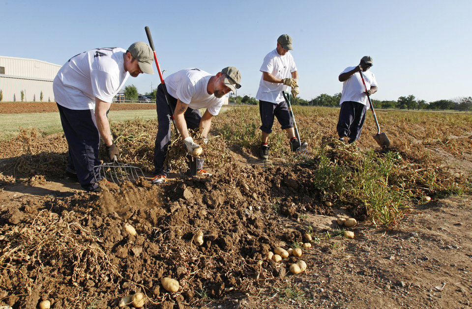 Photo - Oklahoma County inmates Robert Pierce, of Walters, Michael Taylor, of Oklahoma City, Chuck Cook, of Purcell, and Calvin Reed, of Oklahoma City, harvest potatoes Friday from a field at the Oklahoma County sheriff's substation in Midwest City. Photo by Paul B. Southerland, The Oklahoman  PAUL B. SOUTHERLAND - PAUL B. SOUTHERLAND
