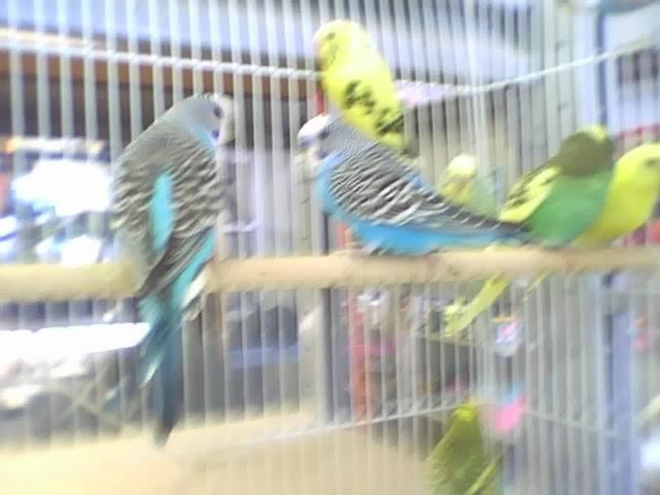 Parakeets and A and B pet store.<br/><b>Community Photo By:</b> Tama<br/><b>Submitted By:</b> Tama, Midwest