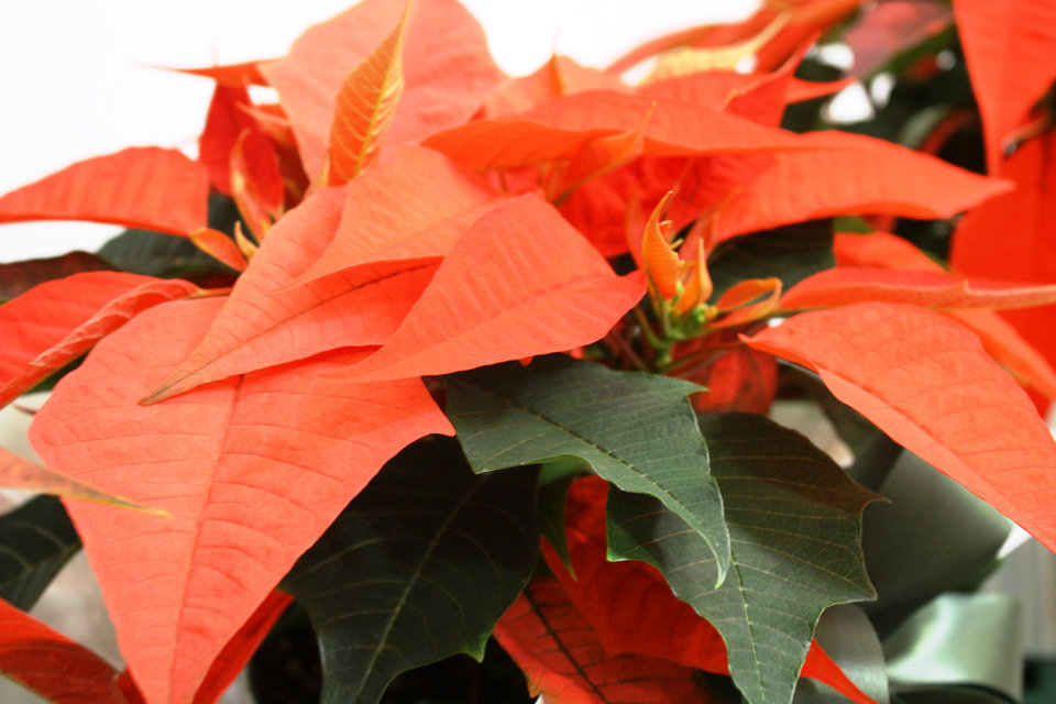Orange Spice poinsettias, which were sold at OSU-OKC\'s annual poinsettia sale. - PROVIDED