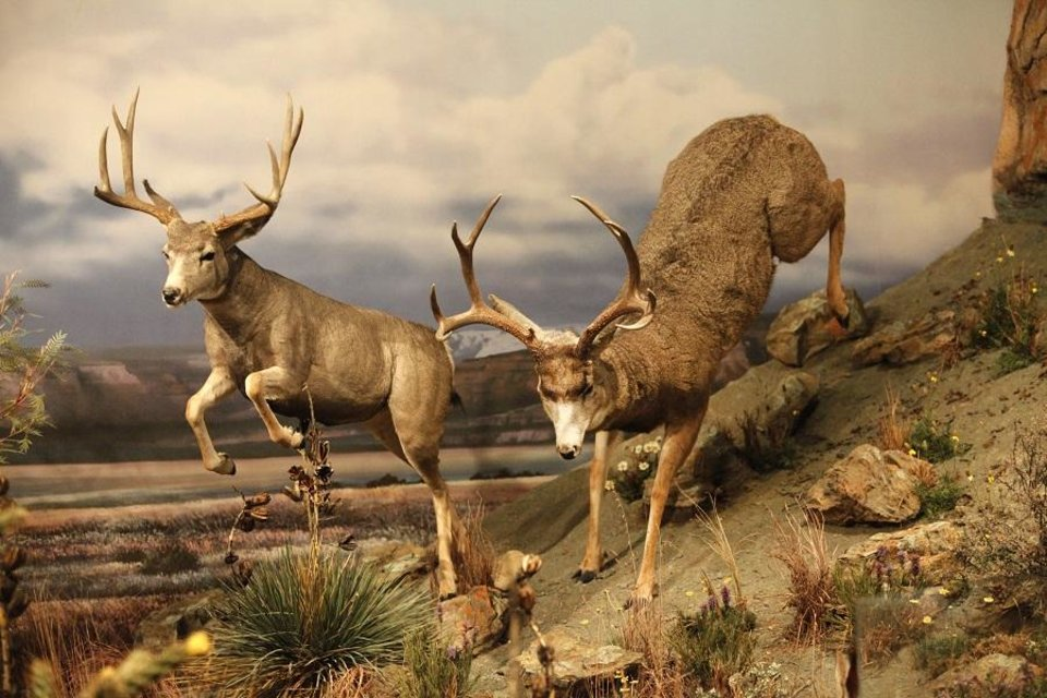 Photo - Mule deer are displayed at the Sam Noble Museum in Norman. [The Oklahoman Archives]