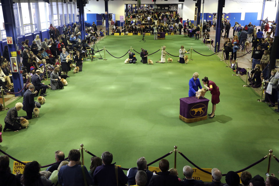 Pomeranians are shown in the ring during the 137th Westminster Kennel Club dog show at Pier 92, Monday, Feb. 11, 2013 in New York. (AP Photo/Mary Altaffer) ORG XMIT: NYMA108