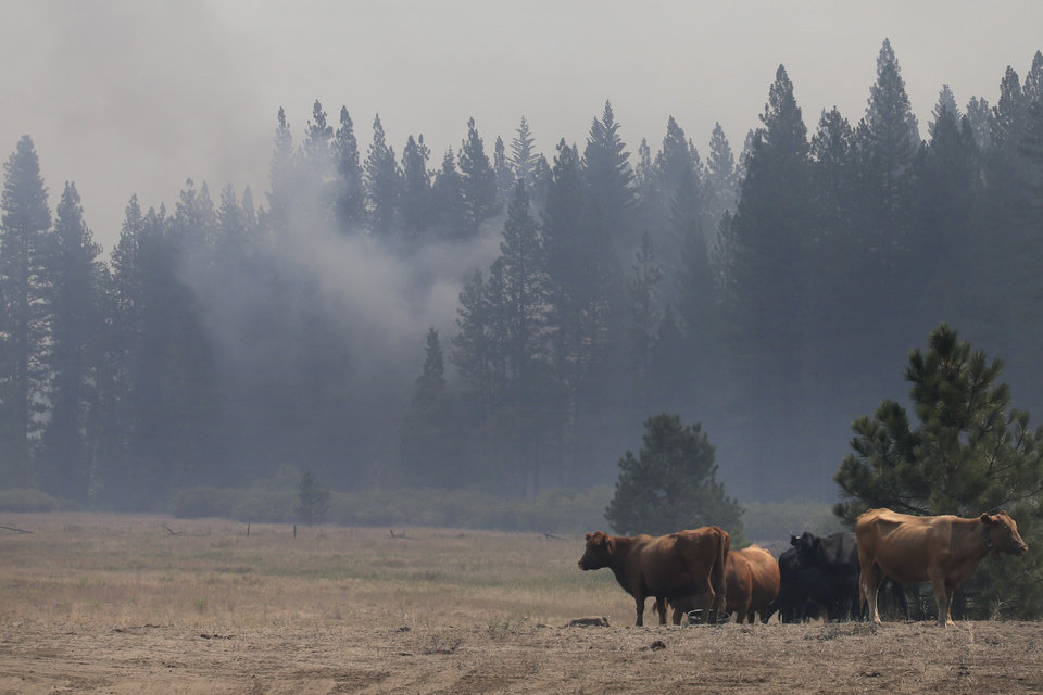 Cattle stand in a field as a smoke from the Rim Fire rises near Yosemite National Park, Calif., on Wednesday, Aug. 28, 2013. The giant wildfire burning at the edge of Yosemite National Park is 23 percent contained, U.S. fire officials said Wednesday. (AP Photo/Jae C. Hong)