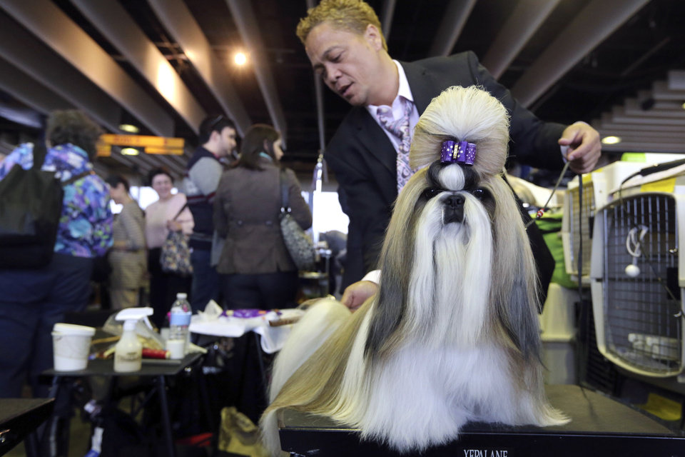 Craig Garcia grooms Fire, a 2-year-old Shih Tzu from Cape Town, South Africa, during the 137th Westminster Kennel Club dog show, Monday, Feb. 11, 2013, in New York. (AP Photo/Mary Altaffer) ORG XMIT: NYMA114