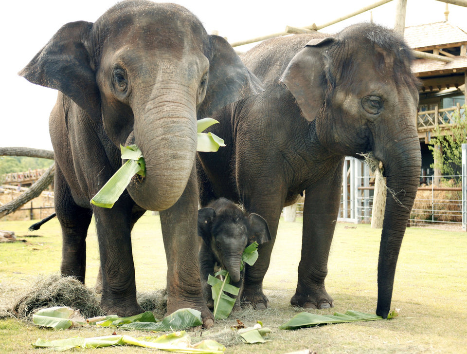 Asian elephants, including the new baby elephant, enjoy the new elephant enclosure at the Oklahoma City Zoo in Oklahoma City, OK, Tuesday, May 10, 2011. By Paul Hellstern, The Oklahoman