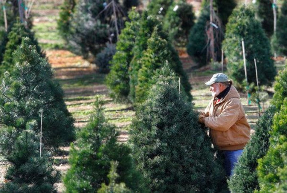CHRISTMAS TREE FARM: John Knight walks among trees waiting to be cut by prospective Christmas tree shoppers at his business, Sorghum Mill Tree Farm,  located on N Midwest Boulevard south of Sorghum Mill on Thursday,  Dec. 8, 2011, 2011.   Photo by Jim Beckel, The Oklahoman