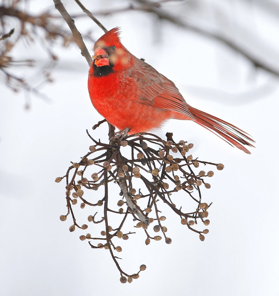 Photo - A cardinal perches on a branch in Yukon, Friday January, 6 2017. Photo By Steve Gooch, The Oklahoman