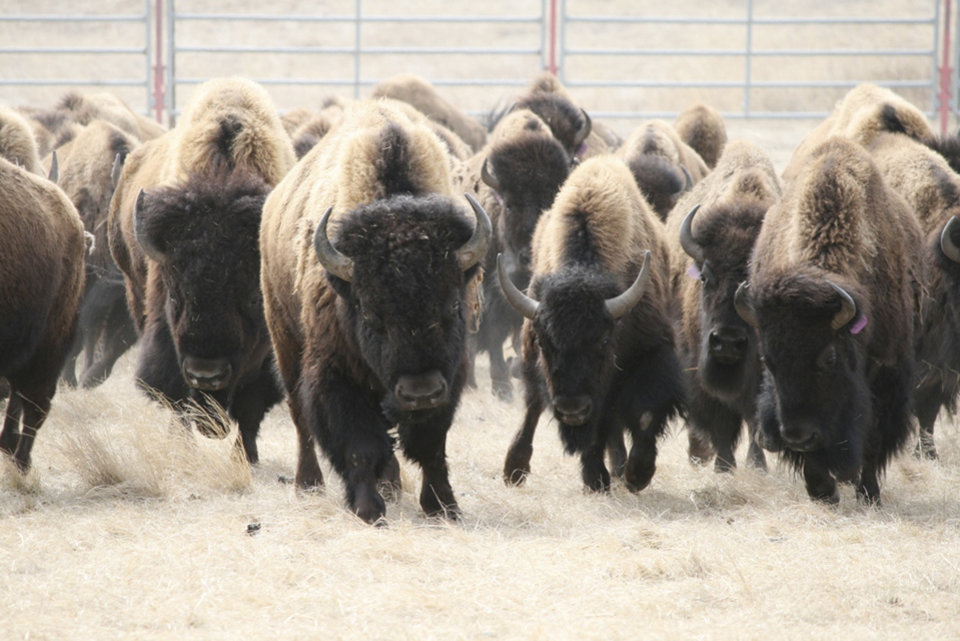 Photo - This undated photo provided by the Defenders of Wildlife shows bison roaming over a large enclosed area on the Fort Belknap Indian Reservation in north central Montana. The bison were moved there beginning in 2012 as part of a pilot project. Members of the Blackfoot Confederacy of tribes in Montana and Canada have told Montana legislators they'd like to bring bison to their land just east of the Northern Rockies. (AP Photo/Defenders of Wildlife)