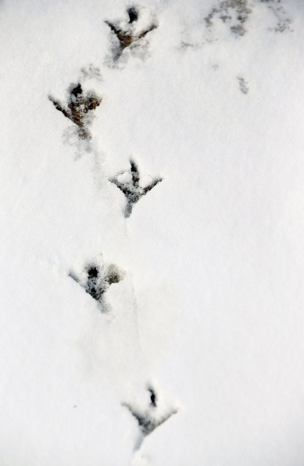 Photo - Bird tracks in snow at Lake Hefner after a winter storm in Oklahoma City, Sunday, Feb. 2, 2014. Photo by Nate Billings, The Oklahoman