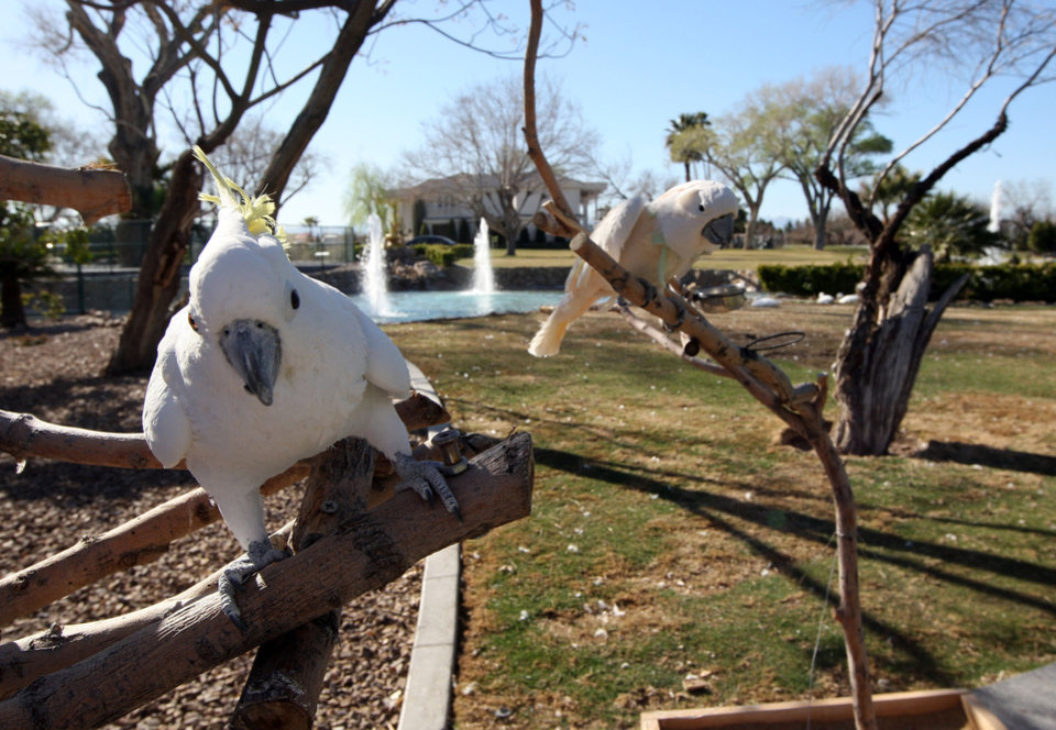 "Photo - FILE - This March 12, 2013 file photo shows two cockatoos, Elliott, left, and Lulu stand on branches at Wayne Newton's  Casa de Shenandoah in Las Vegas. The sign outside the sprawling Newton estate in southeast Las Vegas says ""For Sale.""  Even if Casa de Shenandoah sells, the Newtons say their lease lets them stay in the three homes on the property. (AP Photo/Las Vegas Review-Journal, Jerry Henkel, File) LOCAL TV OUT; LOCAL INTERNET OUT; LAS VEGAS SUN OUT"