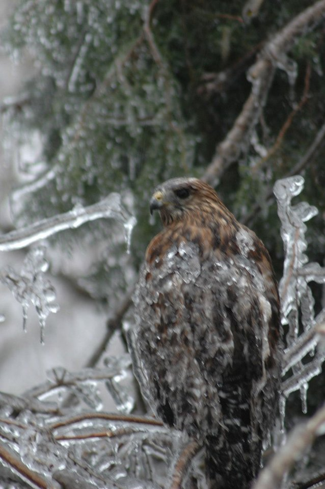 Frozen Hawk in our back yard in Midwest City<br/><b>Community Photo By:</b> Pam J. Fordenbacher<br/><b>Submitted By:</b> jean, Midwest City