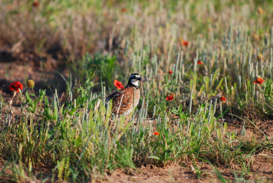 The plight of the bobwhite quail has some hunters thinking that quail hunting season should be closed, but state wildlife officials say hunting does not play a significant part in quail mortality. The population of bobwhite quail in western Oklahoma have been on the decline in recent years. Photo provided by Oklahoma Wildlife Department <strong>PROVIDED</strong>