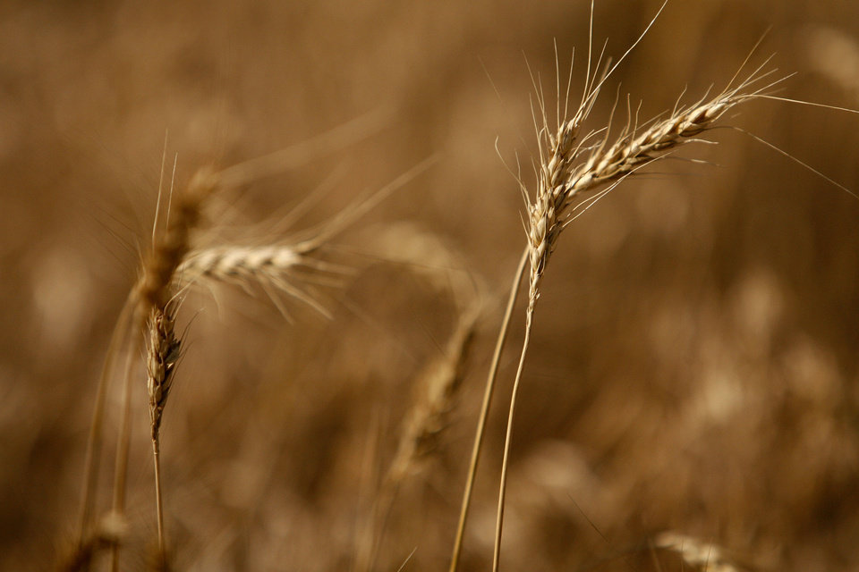 Photo -  The wheat season is dry and grim as farmer's wait to harvest late in the season. Photo by Ashley McKee, The Oklahoman