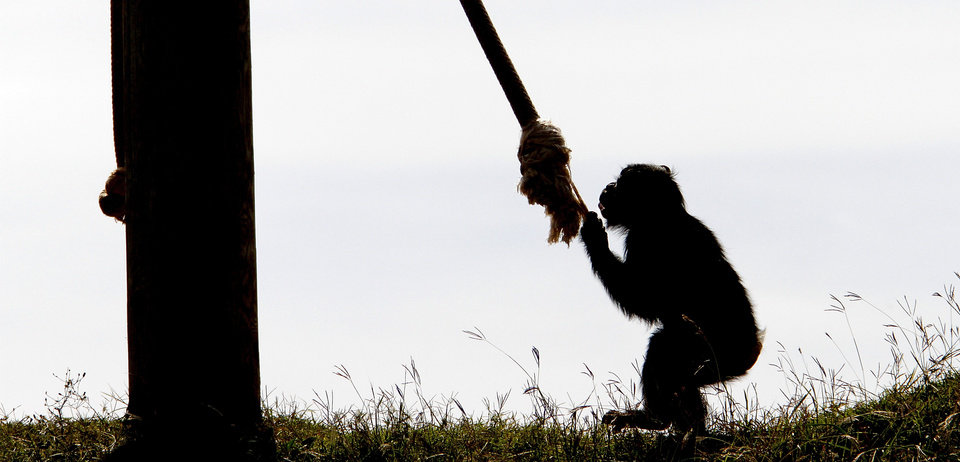 Siri, a young female chimpanzee, plays at the Oklahoma City Zoo.