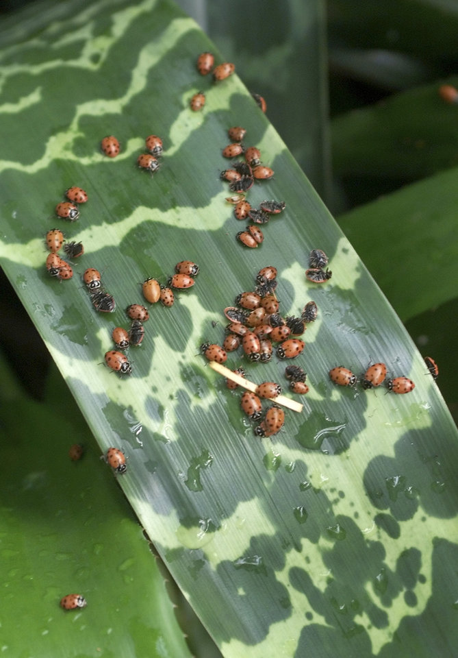 "LADYBUG: ""Traffic jam"" of released ladybugs on leaf of heliconia plant in the Crystal Bridge Botanical Gardens. Insects were among the 35,000 lady bugs released during semi-annual ""Bug Out"" event. Staff Photo by Roger Klock"