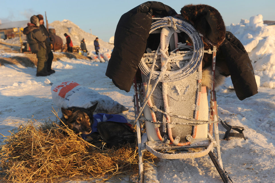 Photo - Euro rests next to the back of Iditarod musher Richie Diehl's snow and frost plastered sled at the Unalakleet checkpoint at sunrise during the 2014 Iditarod Trail Sled Dog Race on Sunday, March 9, 2014. (AP Photo/The Anchorage Daily News, Bob Hallinen)