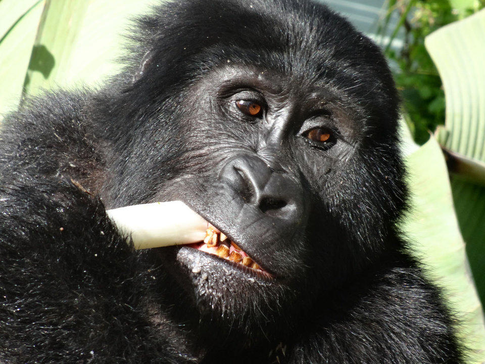 A mountain gorilla lunches at a banana plantation in Uganda. Photo courtesy of Jon Perica.