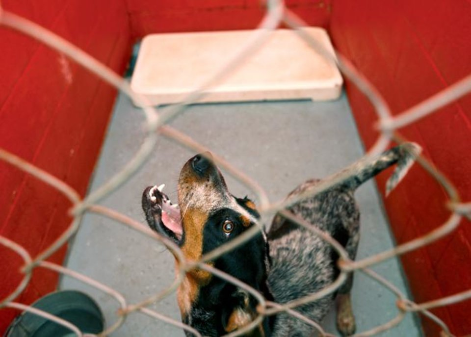 Photo -  DOG: Bones howls in his cage at the Stillwater Humane Society in Stillwater, Okla. Wednesday, July 8, 2009.  Photo by Ashley McKee, The Oklahoman   ORG XMIT: KOD