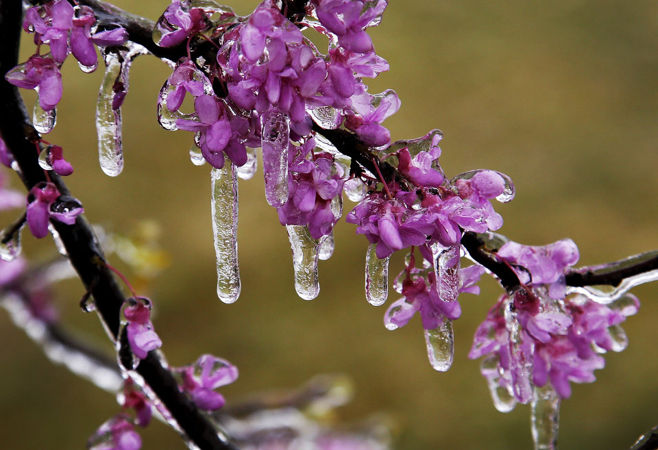Photo - An early spring ice storm resulted in ice-covered branches on trees that had already  started blooming after several weeks of warm weather on April 10, 2013.  Photo by Jim Beckel, The Oklahoman.