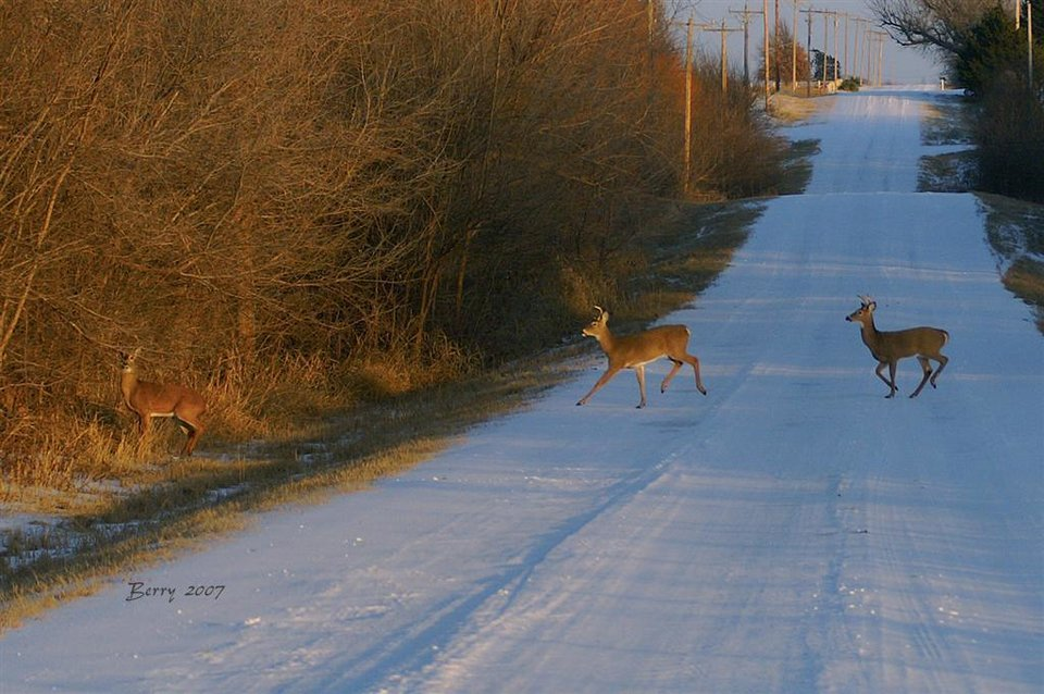 Deer Crossing near The Wilds of BLC in El Reno<br/><b>Community Photo By:</b> Berry J. Yarbrough<br/><b>Submitted By:</b> Berry, Bethany