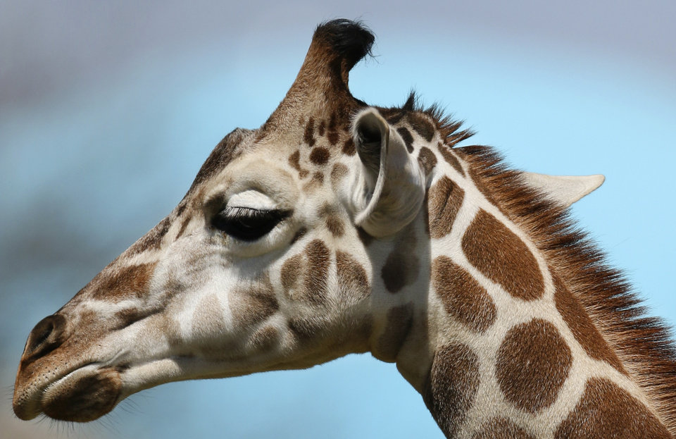 Photo - Kyah, a six month old giraffe at the Oklahoma City Zoo, will undergo surgery next week at Oklahoma State University to repair a vessel in her heart that has wrapped around her esophagus and prevents food from going to her stomach. Thursday April 03, 2014. Photo By Steve Gooch, The Oklahoman