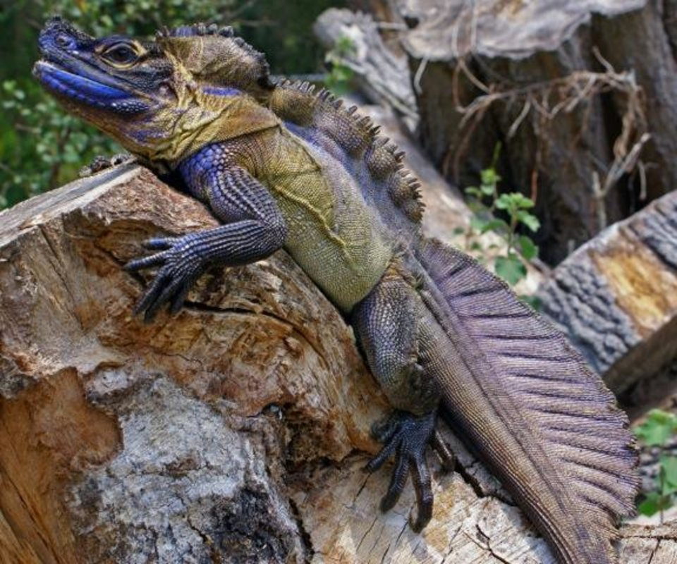 Photo - The brightly colored sailfin dragon that has been declared a vulnerable species by the International Union for Conservation and Nature is highly prized on the black market.  Photo provided