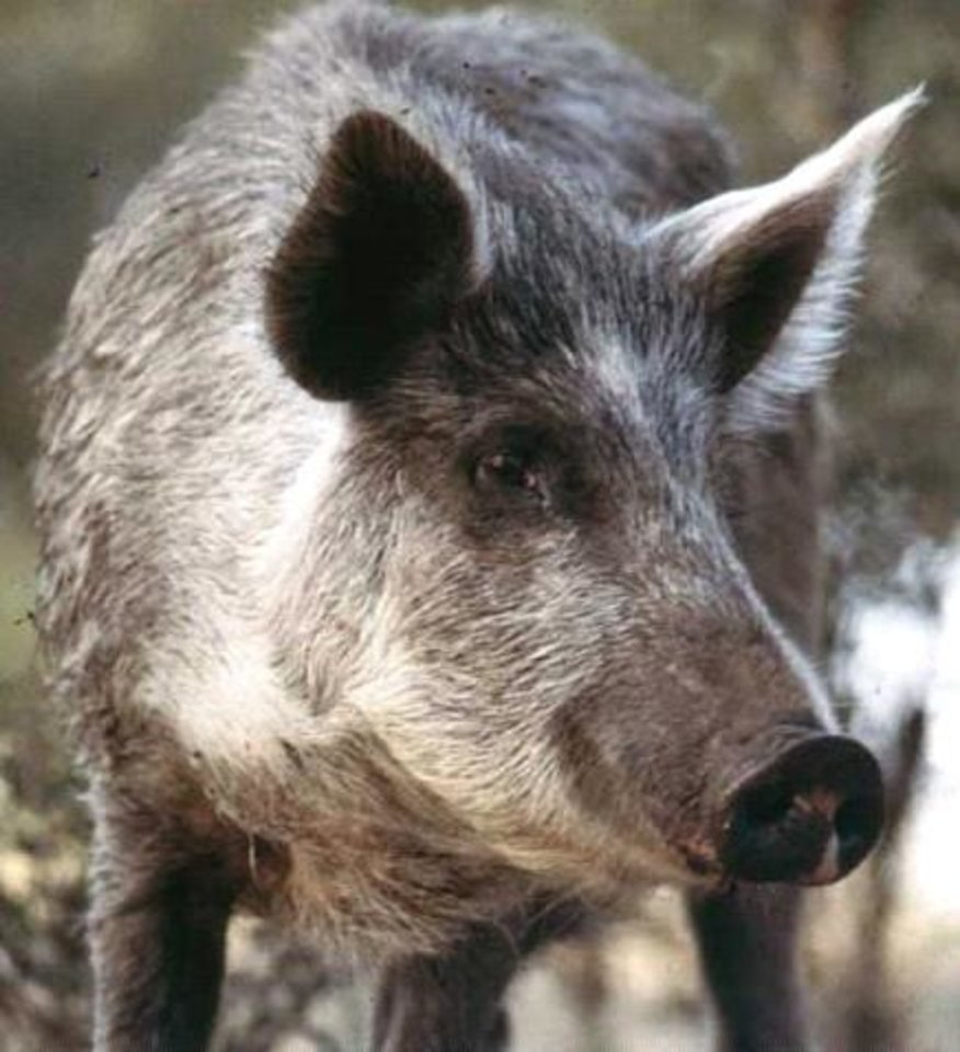 Photo - The population of feral, or wild, hogs is growing in Oklahoma and has expanded to all 77 counties in the state. Two bills that passed the state Legislature and signed into law by Gov. Mary Fallin will allow aerial hunting of hogs by landowners in an attempt to eradicate or control them. Photo provided by the Oklahoma Department of Agriculture, Food and Forestry