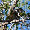 Photo - This February 2014 photo released by Kristina MacKulin shows  a Howler Monkey in the tropical dry forest of Nosara, Costa Rica. Nosara is a scenic coastal region with a variety of outdoor recreation activities for visitors. (AP Photo/Kristina MacKulin)