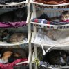 Photo - In this Aug. 2, 2014 photo, a group of sick cats rest in Maria Torero's hospice for felines suffering from Leukemia, at her home in Lima, Peru. She estimates she spends about $1,785 a month to care for them, half of that from donations and the other half from her job as a private nurse. (AP Photo/Martin Mejia)