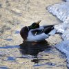 A duck cleans her feathers sitting next to chunks of ice in a river in the capital Minsk, Belarus, Monday, Jan. 4, 2016. The temperatures in Belarus reached around -15 Celsius (5 degrees Fahrenheit). (AP Photo/Sergei Grits)