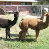 Three of Janice Robinson's alpacas roam on her ranch in Jones. Robinson is one of several alpaca ranchers who will open their farms to visitors this weekend for National Alpaca Farm Days. PHOTO PROVIDED