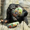 Chimpanzee Viktoria opens an Easter egg at the zoo in Hannover, Germany, Thursday, April 3, 2014. The egg was filled with food. The zoo keepers surprised the animals with an Easter egg hunt on the first day of the Lower-Saxon Easter school holidays. (AP Photo/dpa, Holger Hollemann)