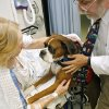 Photo - Ginger VanCuren, of Stroud, pets Boz, a therapy dog, before she has surgery at Integris Southwest Medical Center in Oklahoma City on Tuesday July 9, 2008. Dr. Philip Mosca (right) takes Boz on rounds through the hospital. By John Clanton, The Oklahoman ORG XMIT: KOD