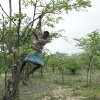 In this photo taken Sunday Jan. 16, 2013, Mpokuhle Ncube hangs from a Mopane tree in search of mopane worms for harvesting in Gwanda, Zimbabwe. In Zimbabwe as well as most parts of southern Africa, mopane worms are a staple part of the diet in rural areas and are considered a delicacy in the cities. They can be eaten dry, as crunchy as potato chips, or cooked and drenched in sauce. (AP Photo/Tsvangirayi Mukwazhi)