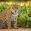 The Lonely Jaguar of the United States