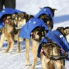 Mitch Seavey's dogs look back at the musher after they arrived at the White Mountain checkpoint during the Iditarod Trail Sled Dog Race on Monday, March 10, 2014, in White Mountain, Alaska. (AP Photo/The Anchorage Daily News, Bob Hallinen)