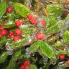 The leaves of the holly bush are shedding tears. Ice Storm 2007 Community Photo By: Sherry Submitted By: Sherry, Edmond