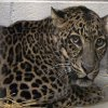 FILE - This file photo provided by the Columbus Zoo and Aquarium and shows one of three leopards that were captured by authorities, a day after their owner released dozens of wild animals and then killed himself near Zanesville, Ohio on Oct. 18, 2011. Officials say five exotic animals will be returned to Marian Thompson, the woman whose husband released dozens of wild creatures last fall before killing himself. The Ohio Agriculture Department announced the decision Monday. It\'s unclear when the animals would be released to Marian Thompson. (AP Photo/Columbus Zoo and Aquarium, Grahm S. Jones, File)
