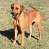 Paisley is a Labrador mix who is very laid back and loves to sit right by your side. Paisley is 2 years old and weighs about 50 pounds. He is at the Edmond Animal Welfare Shelter.